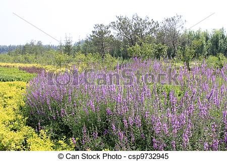 Stock Illustrations of lythrum salicaria flowers in full bloom.