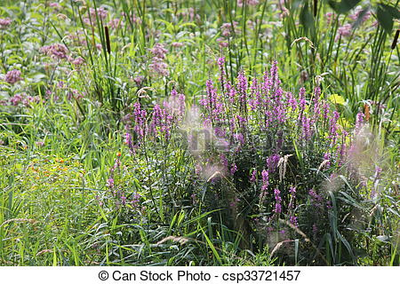 Stock Images of Purple Loosestrife (Lythrum salicaria) an invasive.