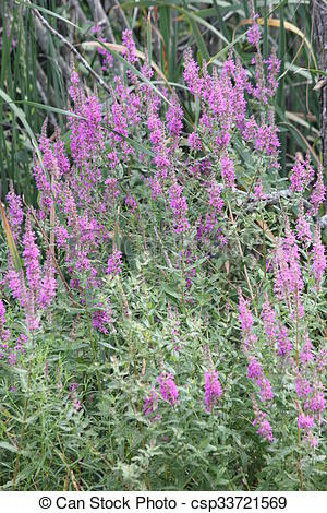 Stock Image of Purple Loosestrife (Lythrum salicaria) an invasive.