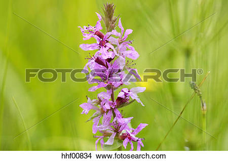 Stock Photo of Purple loosestrife, Lythrum salicaria, close.