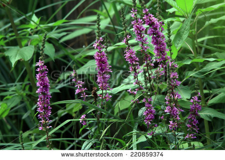 Lythrum Salicaria Stock Photos, Royalty.