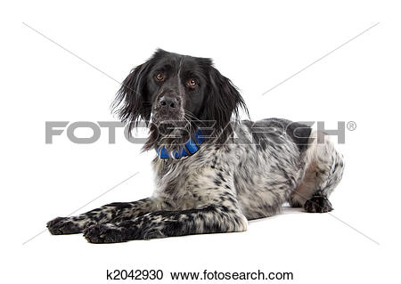 Stock Photography of A black and white Munsterlander hunting dog.