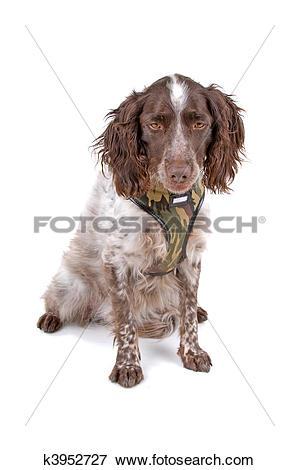 Picture of small munsterlander dog k3952727.