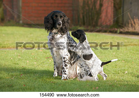Stock Photography of Large Munsterlander dog and puppy on meadow.