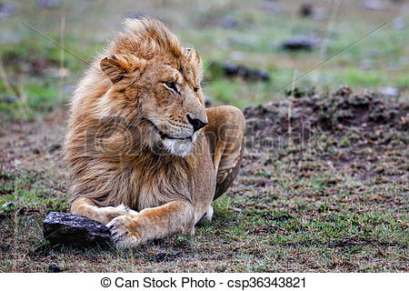 Clip Art of Male lion lying in the grass at sunset Masai Mara.