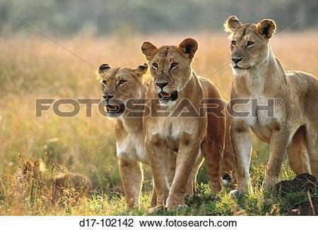 Stock Photo of Three lionesses (Panthera leo). Masai Mara Game.