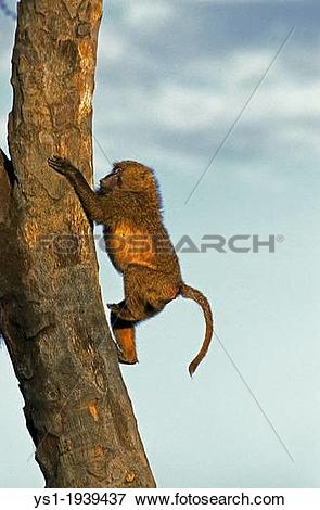 Picture of Olive Baboon, papio anubis, Young climbing Tree Trunk.