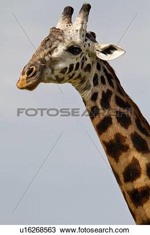 Stock Photo of Head and neck detail of adult giraffe, side view.