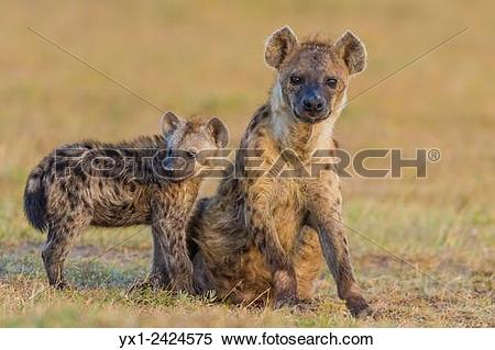 Stock Image of Spotted huena cub with mother. Masai Mara National.