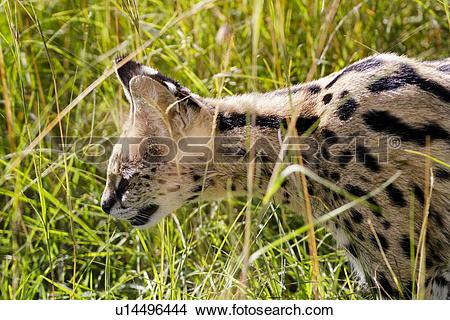 Stock Photo of Detail of serval cat hunting in long grass, with.