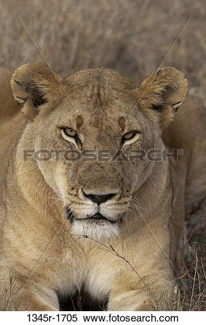 Stock Image of Africa, Kenya, Masai Mara, close up of Lion.