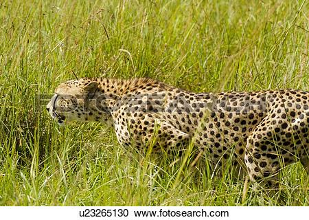 Stock Photography of Close up side view detail of cheetah stalking.