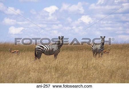 Picture of Zebras Masai Mara National Reserve Kenya ani.