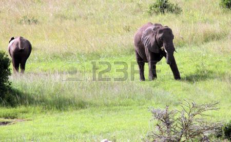 103 Masai Mara Stock Vector Illustration And Royalty Free Masai.