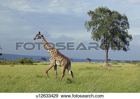 Stock Photograph of Giraffe in grasslands of Masai Mara u12633429.