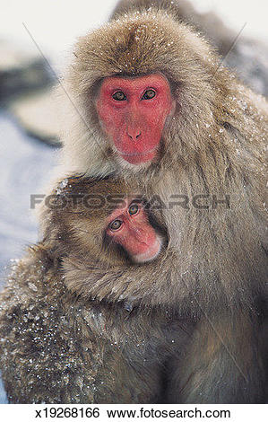 Stock Images of Japanese Snow Monkeys (Macaca fuscata) x19268166.