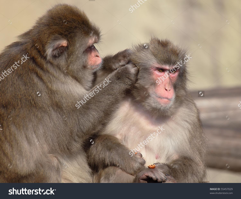 Mammalia / Primates / Cercopithecidae / Macaca / M. Fuscata The.