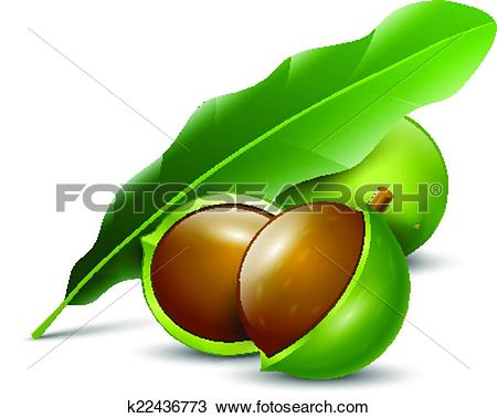 Clipart of macadamia nuts white background natural organic.