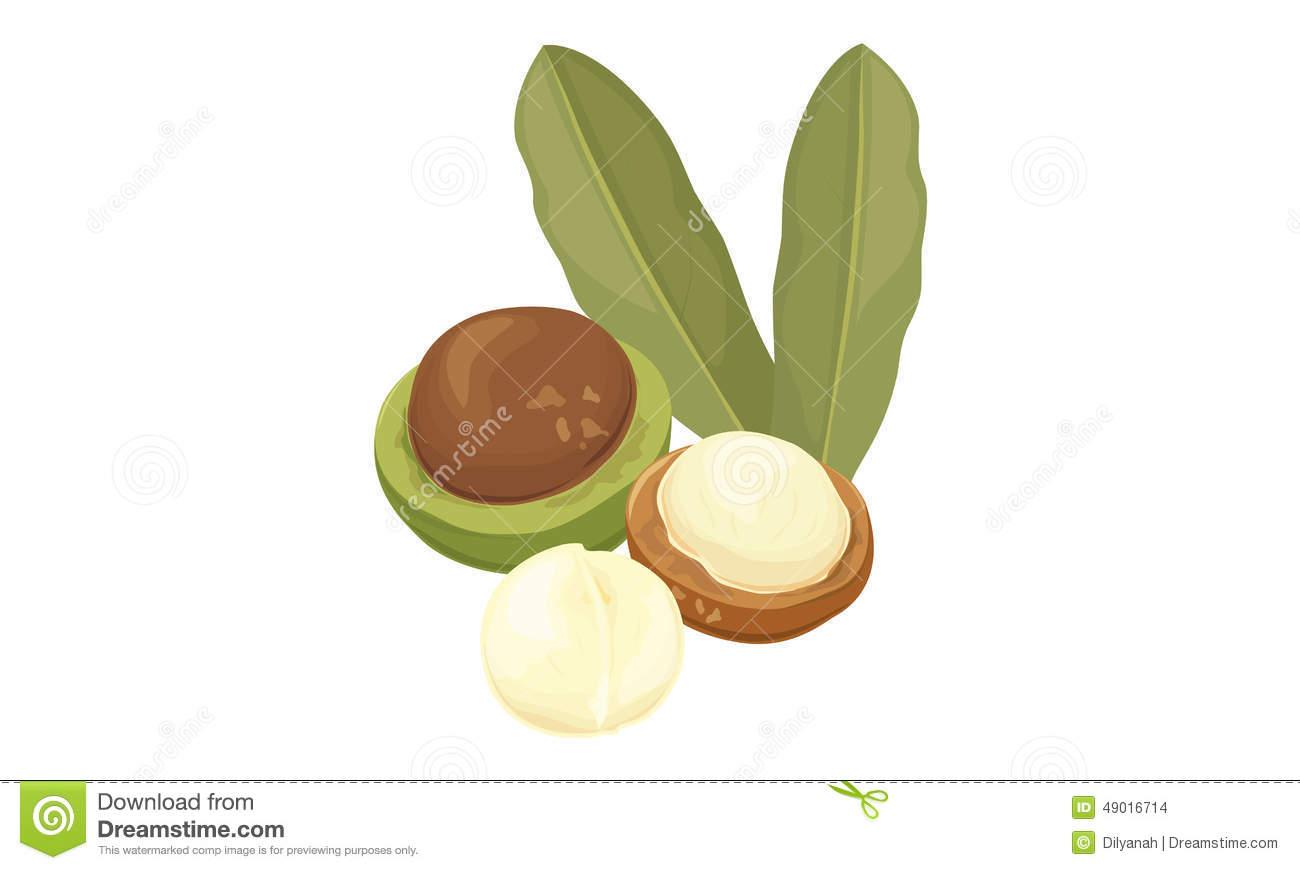 Macadamia Stock Illustrations.