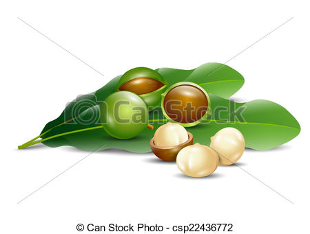 Vectors Illustration of macadamia nuts white background natural.