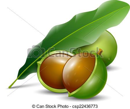 Macadamia Clip Art and Stock Illustrations. 126 Macadamia EPS.