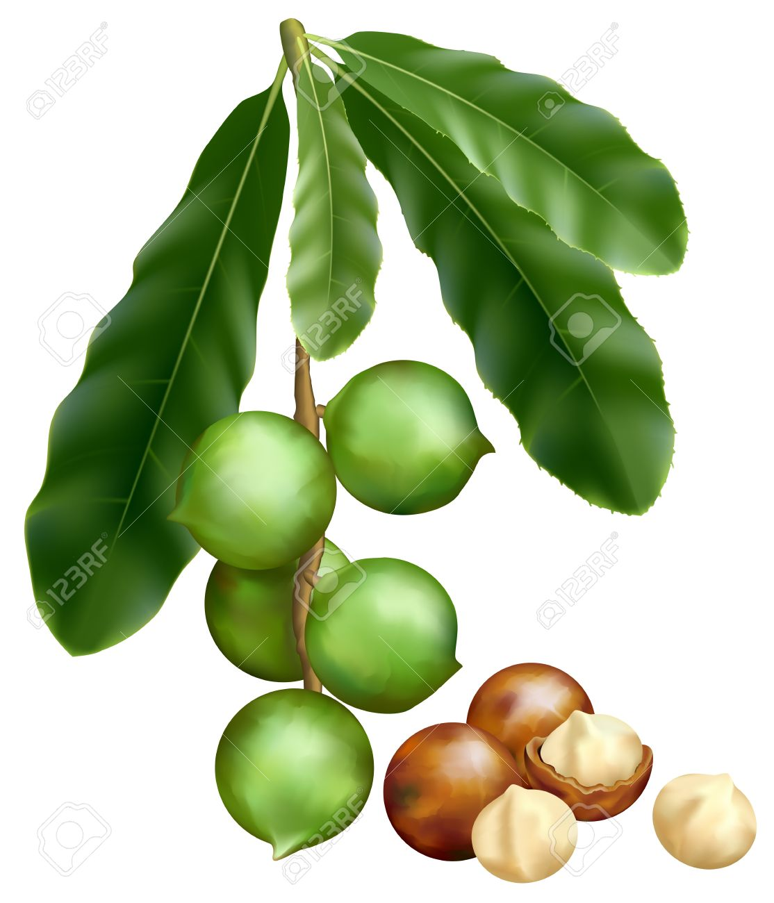361 Macadamia Nut Stock Vector Illustration And Royalty Free.