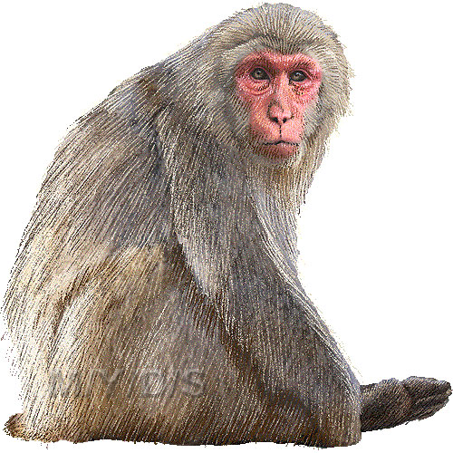 Japanese macaque clipart transparent background.
