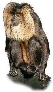 Macaque Clip Art Download.