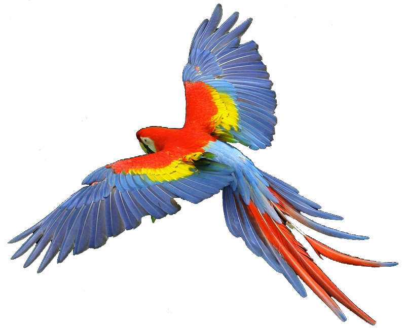 Scarlet macaw clipart.