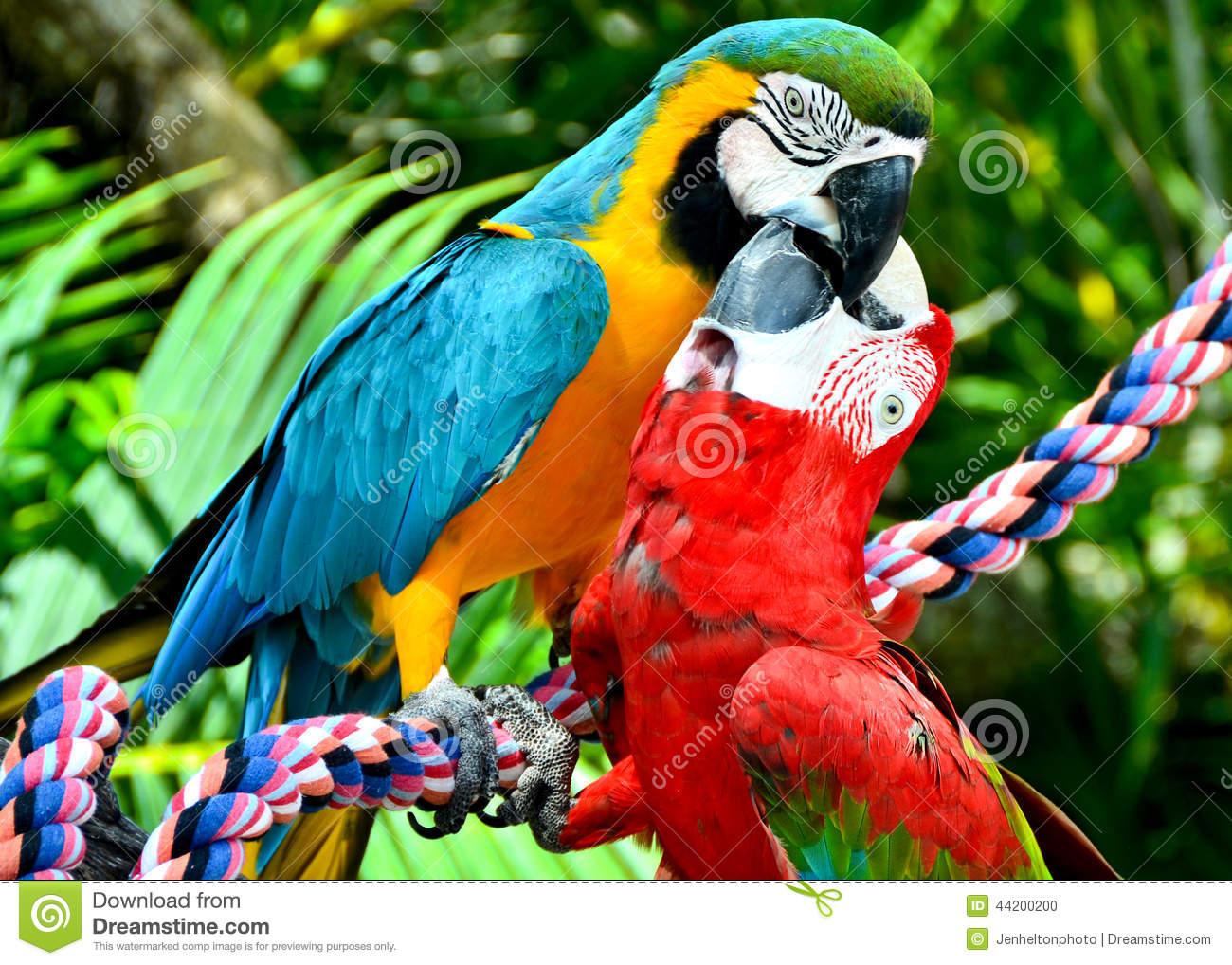 Two Scarlet Macaw Birds Kissing Stock Photo.