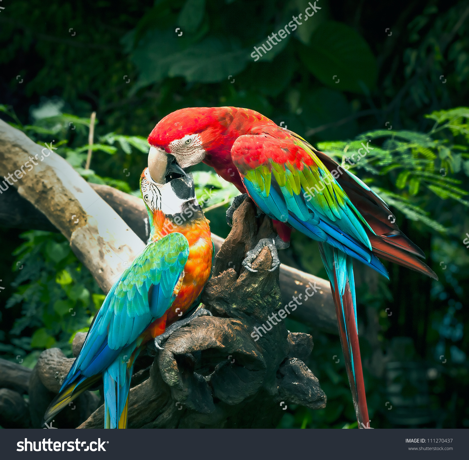 Scarlet Macaw Kisses On Blue Yellow Stock Photo 111270437.