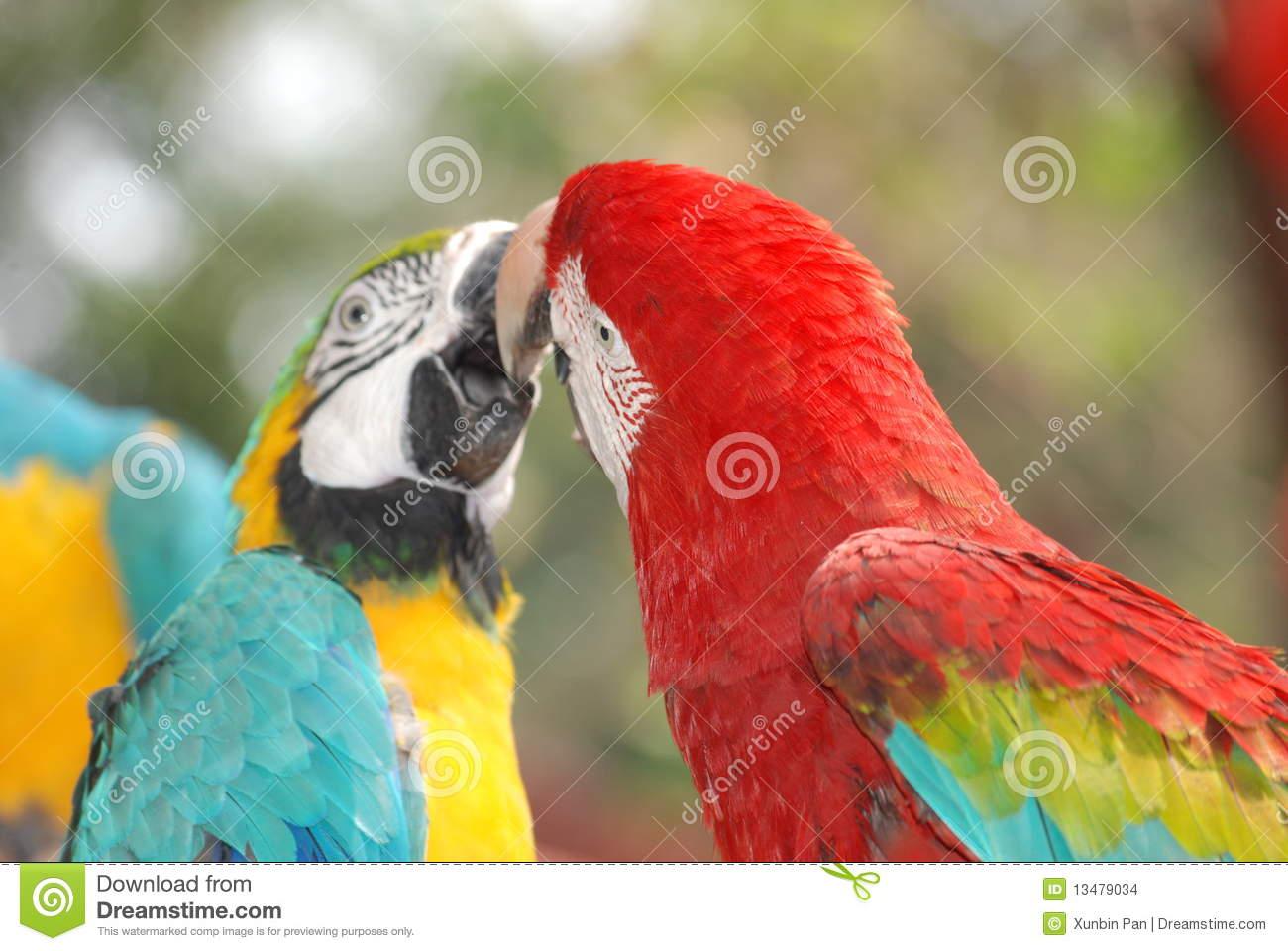 Parrots Kiss Stock Photos, Images, & Pictures.