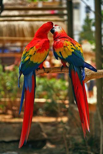 Kissing Parrots.
