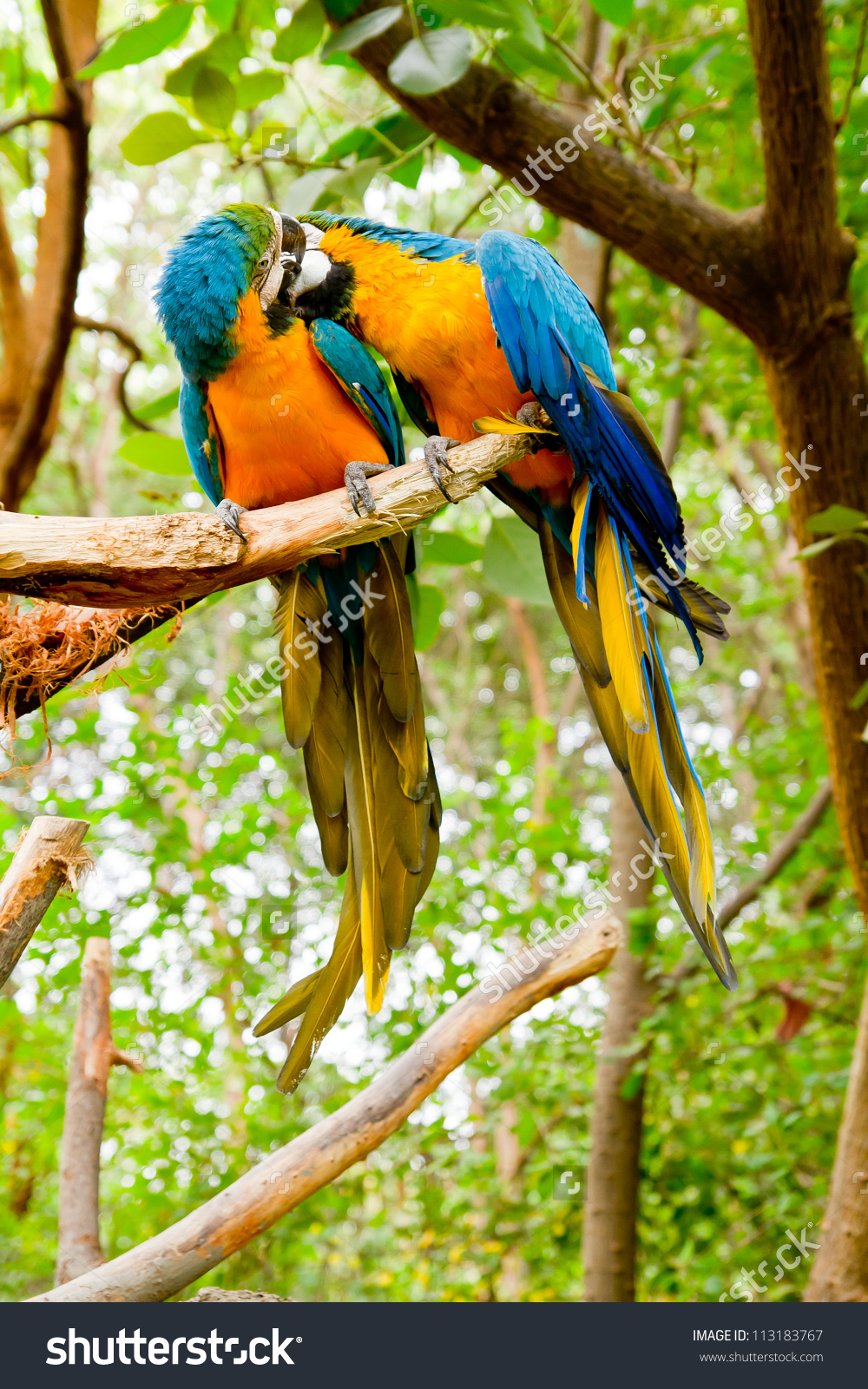 Colorful Couple Macaws Kissing Stock Photo 113183767 : Shutterstock.