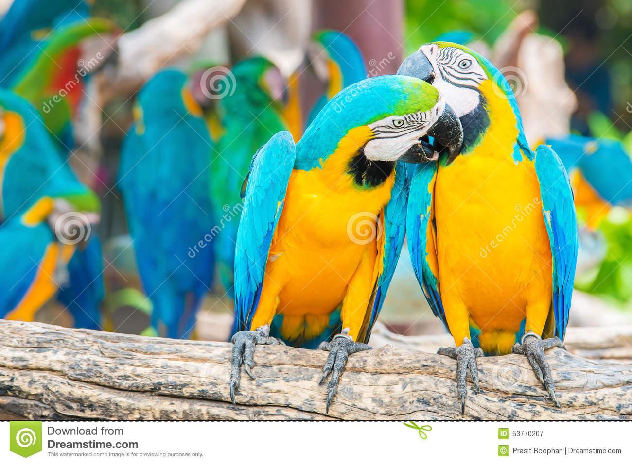 Macaw Bird Kiss Stock Images.