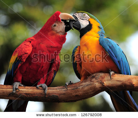 Kissing Macaw Stock Photos, Royalty.