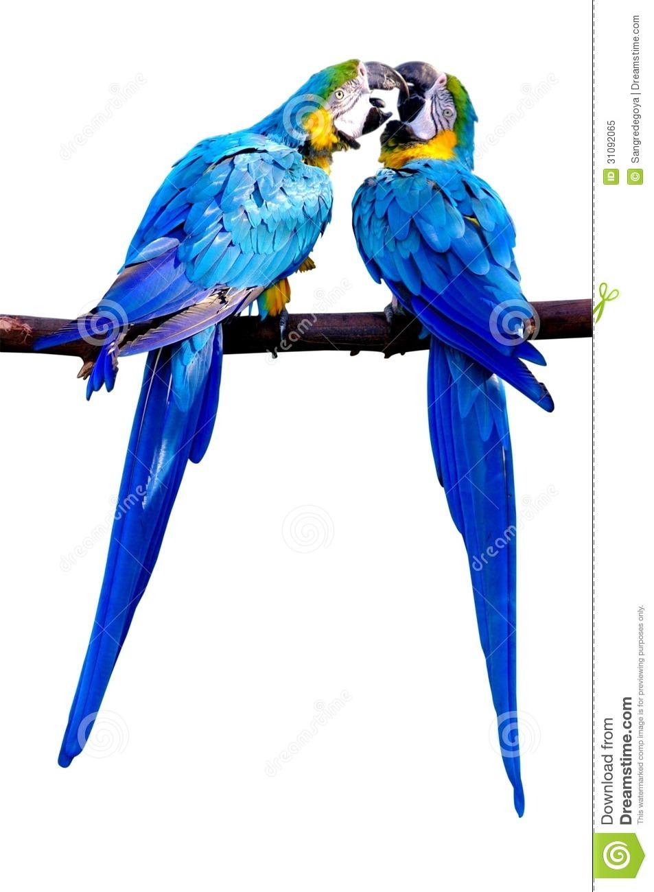 Kissing Parrots Royalty Free Stock Photo.