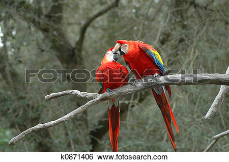 Stock Images of Kissing Parrots k0871406.