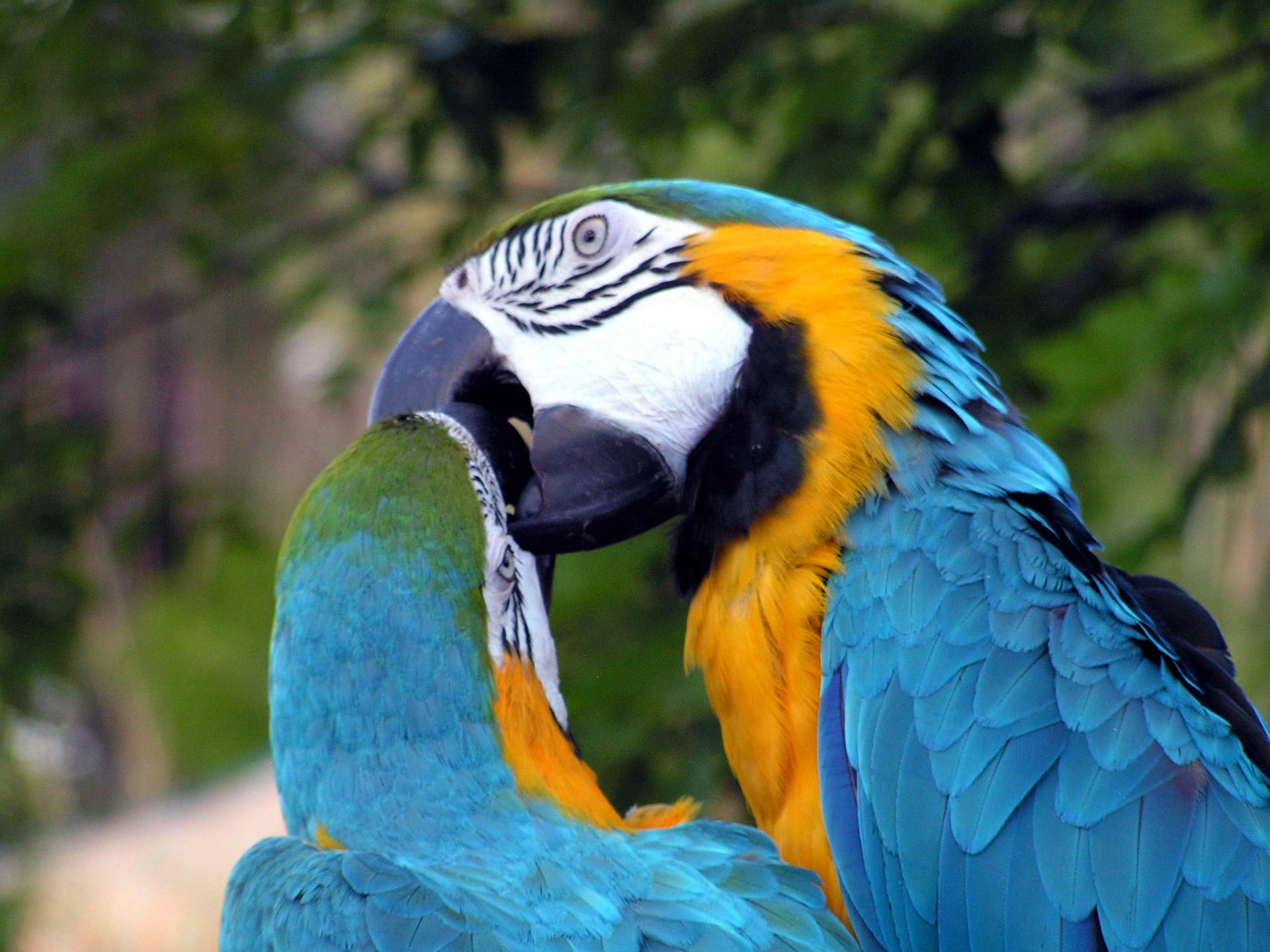 Kissing Parrots Free Stock Photo.