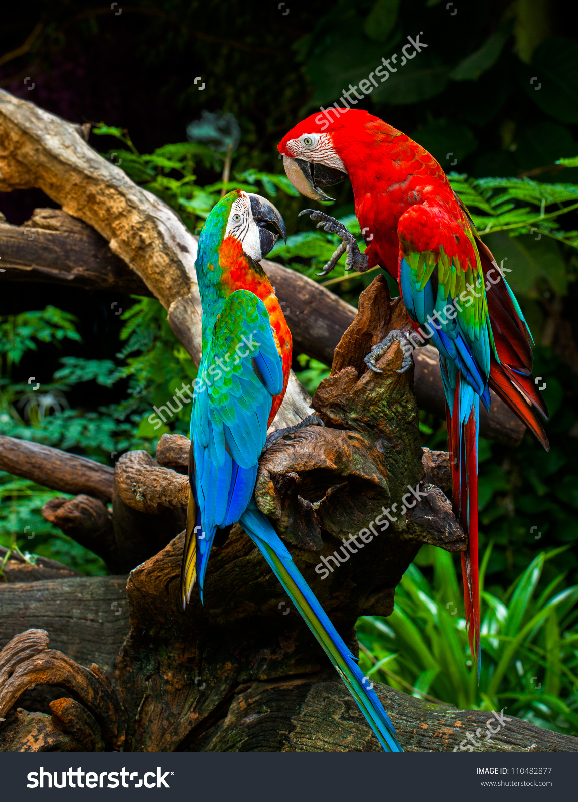 Couple Macaw Parrots Kissing Love On Stock Photo 110482877.