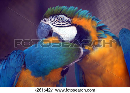 Picture of Blue yellow macaw birds kiss isolated k2615427.