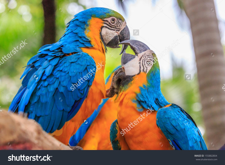 Kissing Couple Blueyellow Macaw Ara Ararauna Stock Photo 155882804.
