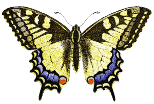 Papilio Machaon Old World Swallowtail Front View Clip Art Download.