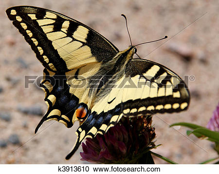 Stock Photography of Papilio Machaon, Swallowtail Butterfly.