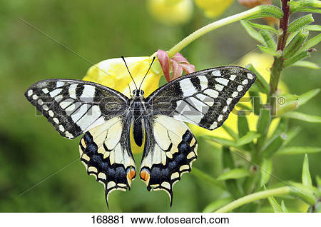Stock Photography of Old World Swallowtail (Papilio machaon.