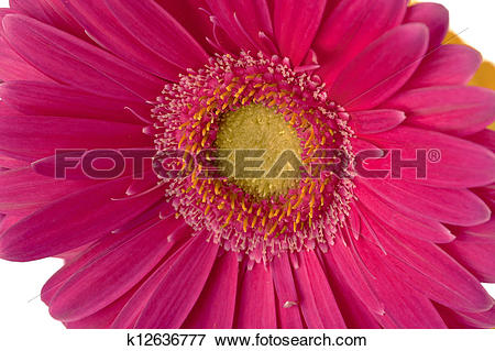 Picture of 272 macro shot of pink daisy k12636777.