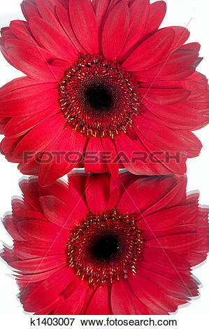 Picture of Macro of a Red Daisy k1403007.