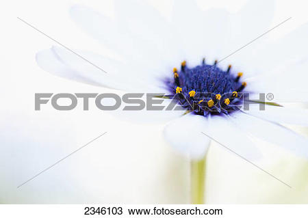 Stock Photo of Macro shot of a white daisy with a purple and.