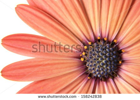 Isolated Orange Gerbera Daisy Stock Photo 112891570.