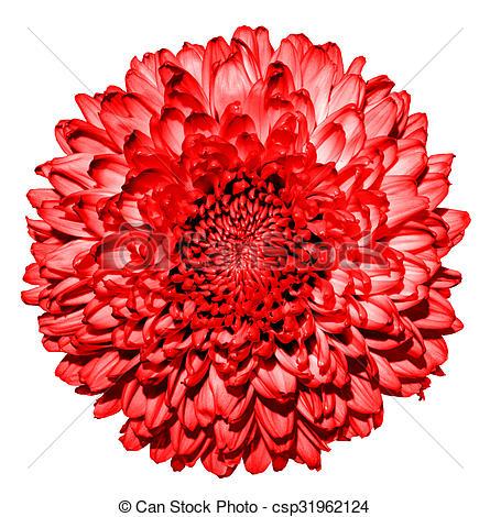 Stock Photo of Surreal dark red chrysanthemum (golden.